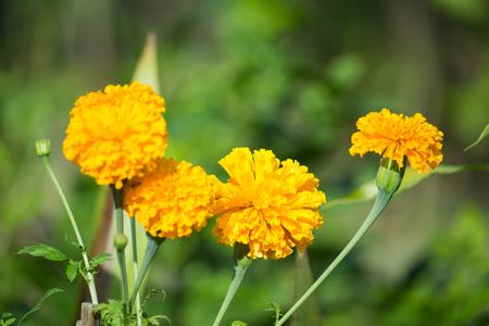 garden marigold: marigold garden nature background
