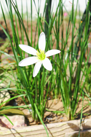 bivalve: white flower, nothoscordum bivalve in garden
