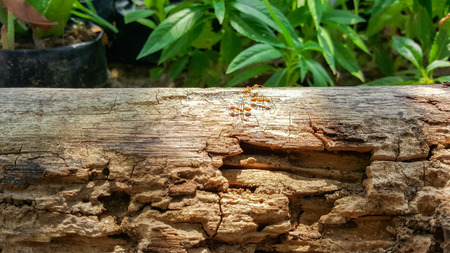 leaf cutter: ant running and work on old wood bridge with sunlight , green nature background