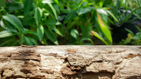 antrey: ant running and work on old wood bridge with sunlight , green nature background