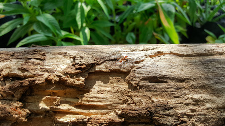 ant running and work on old wood bridge with sunlight , green nature background