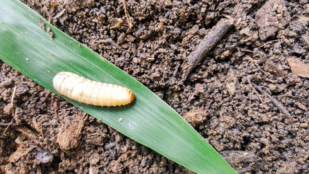 scarabaeidae: cockchafer, worm insect life Stock Photo