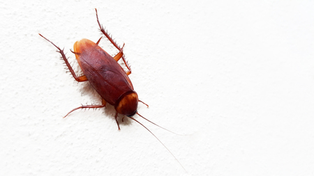 cockroach on white wall background Stock Photo