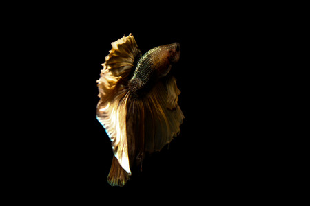 betta: betta fish, siamese fighting fish in thailand isolated on black background Stock Photo