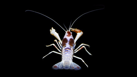 crayfish procambarus clarkii ghost, raising freshwater aquarium lobster in thailand, asia