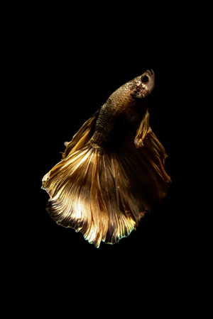 dragon swim: betta fish, siamese fighting fish in thailand isolated on black background Stock Photo