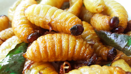 sago worm, larvae from the red palm weevil Stock Photo