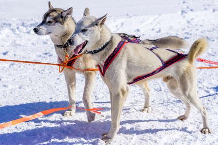 huskys: Two huskys before race