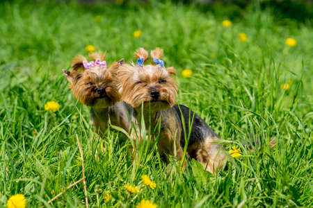 Yorkshire terriers father and daughter Stock Photo