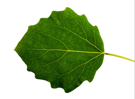 aspen leaf: Grean leaf  aspen on a white background isolated with clipping path.  Nature.  Closeup with no shadows. Macro. I