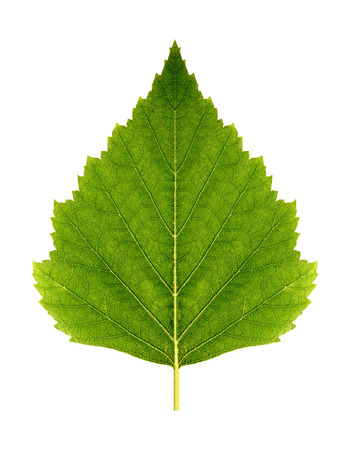 path to romance: Green leaf birch symmetrical on a white background isolated with clipping path. Nature. Closeup with no shadows. Macro. Stock Photo