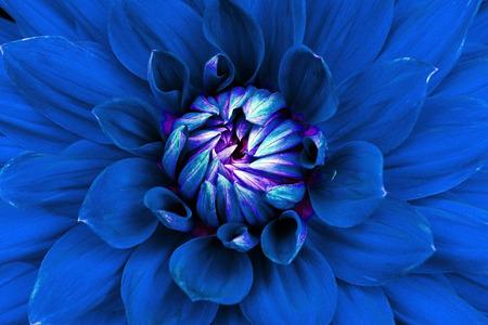ダリアの花のクローズ アップ。マクロ。サイトのデザインおよび印刷に使用できます。デザイナーにも適しています。青い。