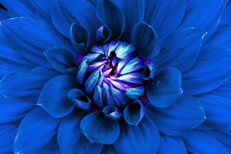 macrophotography: Dahlia flower closeup. Macro. Can be used in the design of the site and in printing. Also good for designers. Blue.