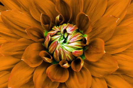 macrophotography: Dahlia flower closeup. Macro. Can be used in the design of the site and in printing. Also good for designers. Orange, green. Stock Photo