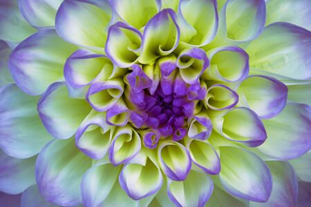 Dahlia flower closeup. Macro. It can be used in website design and printing. Also good for designers. Lilac, yellow. Stok Fotoğraf