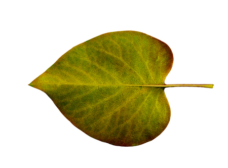 path to romance: Autumn leaf on a white background isolated with clipping path. Closeup with no shadows. Macro. Fading leaf lilac bush. Indian summer. Colorful fading nature. For design of cards and web sites about nature. Back view.