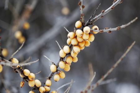 argousier: Winter picture frozen sea-buckthorn berries on a branch. Natural winter background. Closeup.