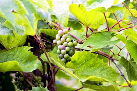 matures: Matures new grape harvest