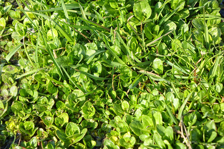 grown up: Green natural background young grass. Closeup. Spring sunny day. Young grass has grown up on the water. Stock Photo