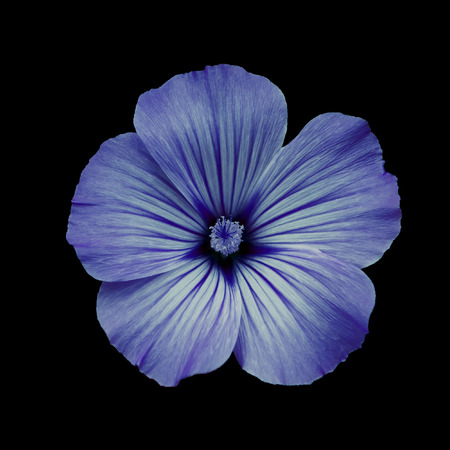 flower garden path: Blue flower lavatera, black isolated background. Macro. It can be used in website design and printing. Suitable for designers. Stock Photo