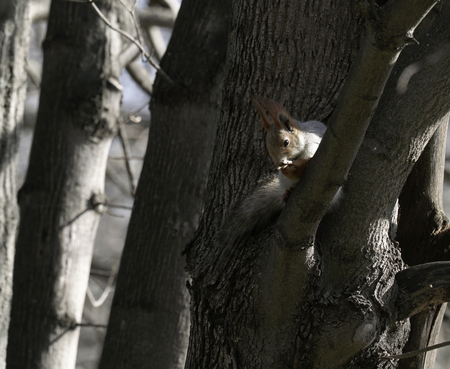 finds: Squirrel in the natural habitat. The squirrel quickly climbs trees, finds food and eats it. Sunny spring day in the forest.