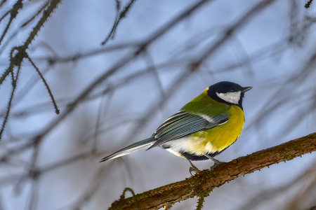 A small bird of the tomtit sits on a tree branch in the park. Close-up. Spring sunny day. Stock Photo
