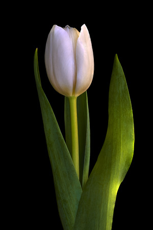 A white tulip flower isolated on a black background close up a white tulip flower isolated on a black background close up flower bud mightylinksfo