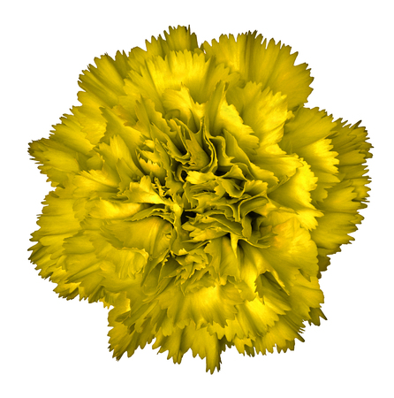 Yellow carnation flower isolated on white background close up yellow carnation flower isolated on white background close up element of design mightylinksfo
