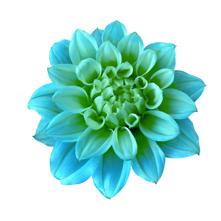 Flower cyan  green dahlia isolated on white background. Close-up. Macro. Element of design.
