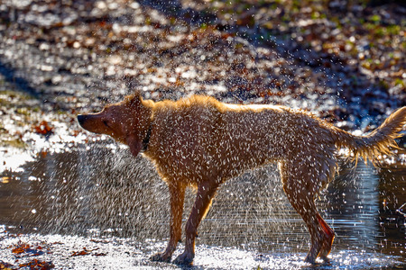 The dog, after bathing in water, shakes the water from the wool. The rays of the spring morning sun shine in the spray of water. 스톡 콘텐츠