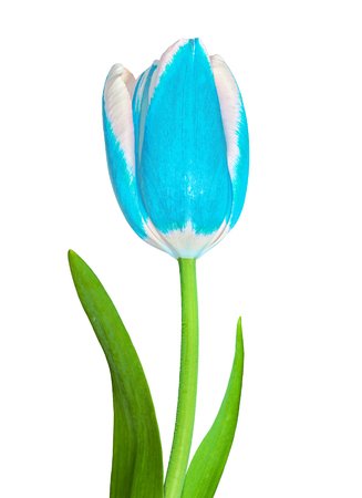 A cyan and white tulip flower isolated on a white background. Close-up. Flower bud on a green stem with leaves. Stock Photo