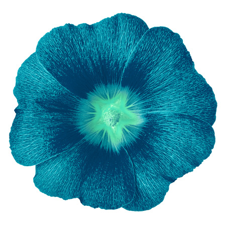 cerulean cyan flower lavatera isolated on white background. Flower bud close up.  Element of design. Stock fotó