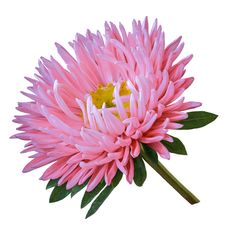 pink yellow flower aster isolated on a white background. Close-up. Flower bud on a green stem with leaves.