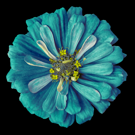 flower cerulean cyan yellow zinnia isolated on a black background. Close-up.  Nature.