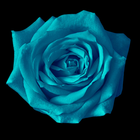 cerulean rose flower isolated on a black background. Closeup. Nature.