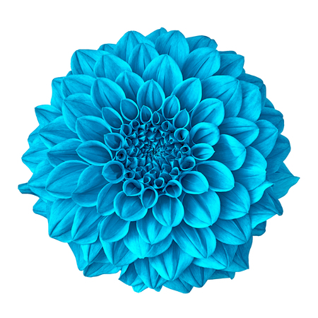 flower cyan dahlia isolated on white background with clipping path. Close-up. Nature.
