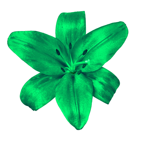 flower  green  lily isolated on white background with clipping path. Close-up. Nature.
