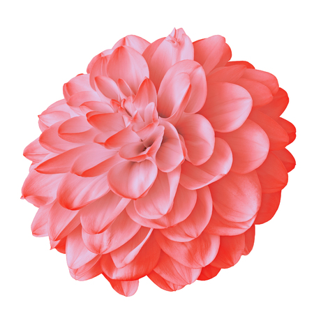 flower red pink dahlia isolated on white background with clipping path. Close-up. Nature. Reklamní fotografie