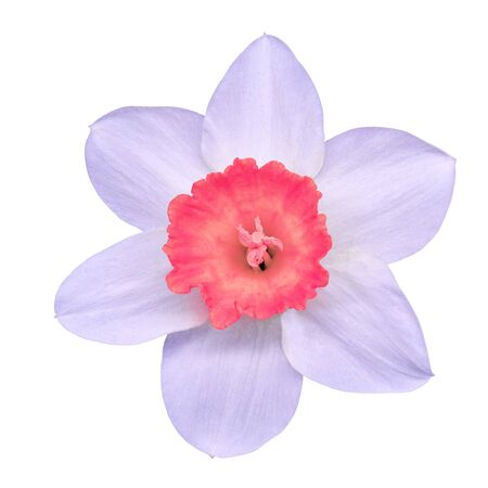 flower pink white narcissus,  isolated on a white  background with clipping path. Close-up. Nature.