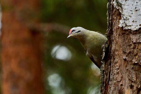 Bird - Grey-faced Woodpecker ( Picus canus ) creeps along the trunk of a birch. Close-up. Stockfoto