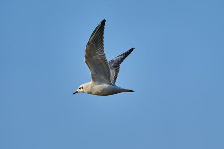 Bird - a young steppe seygul (Larus chachinnans) in flight against a blue sky. Close-up.