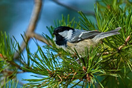 A bird - Coal Tit ( Periparus ater ) sitting on a pine branch. Close-up. 스톡 콘텐츠