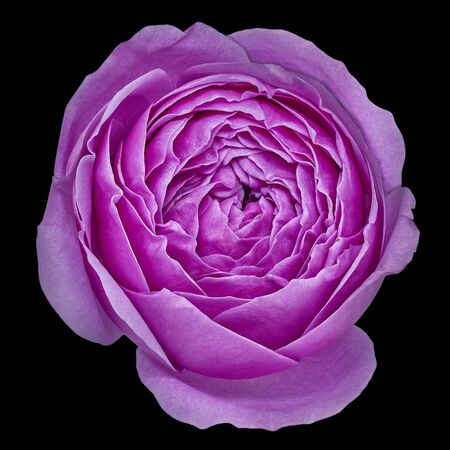 flower magenta rose isolated on black background with clipping path . Close-up. Nature.