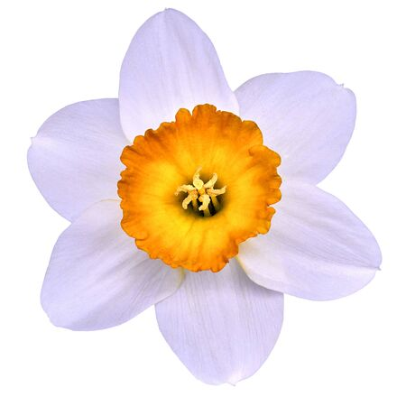 flower yellow white narcissus,  isolated on a white  background with clipping path. Close-up. Nature.