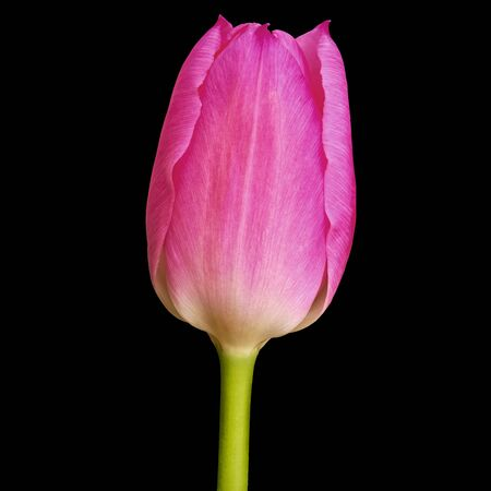 magenta tulip flower isolated on a black background  . Close-up. Flower bud on a green stem.
