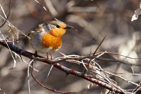 Bird - European Robin ( Erithacus rubecula ) sitting on a branch of a bush sunny spring morning. Close-up. 스톡 콘텐츠