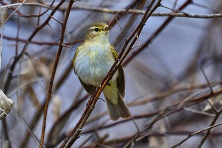 Bird - Willow Warbler ( Phylloscopus trochilus ) sitting on a branch of a bush cloudy spring evening. Close-up.