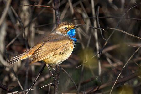 Bird - Bluethroat ( Cyanecula svecica ) sitting on a branch of a bush spring morning. Close-up.