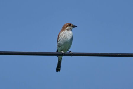 Bird - Red-backed Shrike ( Lanius collurio ) Female sitting on a metal wire and resting. Sunny summer day.