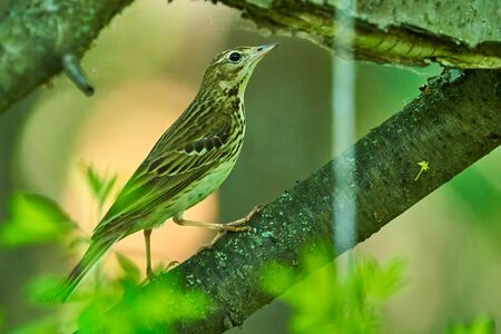 Bird - Tree Pipit ( Anthus trivialis ) sitting on on a dry felled tree and resting. Sunny summer morning in the forest. Close-up.